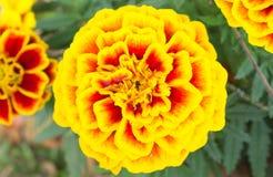 Orange Yellow Marigold Flowers in Garden Center Royalty Free Stock Photos
