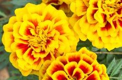 Orange Yellow Marigold Flowers in Garden Left Stock Photography