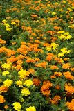 Orange and Yellow Marigolds Background Royalty Free Stock Photography