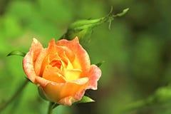 Orange yellow mini rose. Flower photographed in my backyard Royalty Free Stock Image