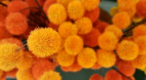 Orange and Yellow Pom Pom Bush. Abstract Background.  Stock Photography