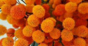 Orange and Yellow Pom Pom Bush. Abstract Background. Orange and Yellow Pom Pom Bush Stock Images