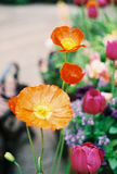 Orange and yellow poppy flowers. Close up stock photo