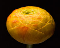 Orange_yellow_ranunculus Obrazy Royalty Free