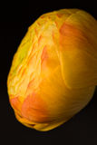 Orange_yellow_ranunculus Fotografia Royalty Free