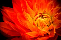 Orange, yellow and red flame dahlia fresh flower macro photo. Royalty Free Stock Image