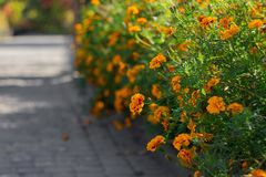 Orange, yellow and red marigold flowers at garden in hot summer autumn day stock photos