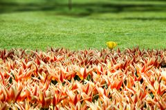 Orange, yellow and red spring tulips flourishing with one fresh single white yellow tulip variant. Amongst the flowers with out of focus garden grass background Royalty Free Stock Photo