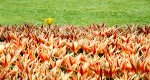 Orange, yellow and red spring tulips flourishing with one single white yellow tulip variant. Amongst the flowers Stock Photography