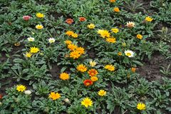 Orange, yellow, red, white and pink flowers of gazania Royalty Free Stock Images