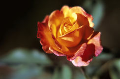 Orange/yellow rose Royalty Free Stock Photography