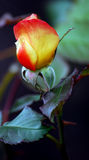Orange and Yellow Rose. This is an orange and yellow blooming rose royalty free stock image