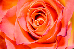 Orange with yellow rose flower, close up, floral texture Stock Photo