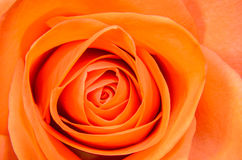 Orange with yellow rose flower, close up, floral texture Royalty Free Stock Images