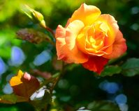 Orange/yellow rose in garden setting. Orange/yellow rose with garden background, slightly enhanced with hdr stock images