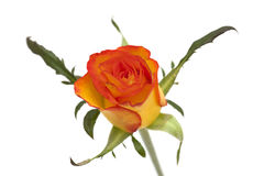Orange and yellow rose isolated Stock Image