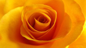 Orange yellow rose macro Stock Image