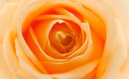 Orange and yellow rose. With hearts royalty free stock image