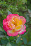 Orange yellow roses in the garden Stock Photography