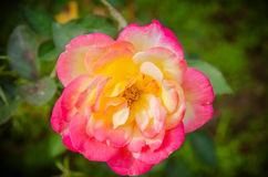 Orange yellow roses in the garden Royalty Free Stock Photography