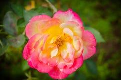 Orange yellow roses in the garden. Some orange yellow roses in the garden Royalty Free Stock Photography