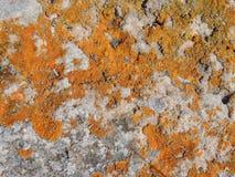 Orange and yellow round lichens on a light grey stone Stock Photos