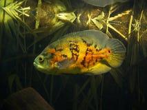 Orange and yellow skin astronaut fish in tank. Orange and yellow skin astronaut fish alone in tank swimming stock images