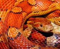Orange and Yellow Snake Stock Images