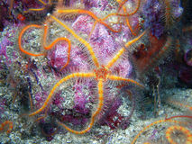 Orange and yellow Spiny Brittle Star. Found off of central California's Channel Islands stock image