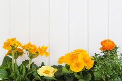 Orange and yellow spring flowers on white wooden background Stock Images