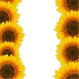 Orange Yellow Sunflower Border isolated on White Background. Vector Illustration.  stock illustration