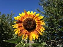 Orange and yellow sunflower Stock Image