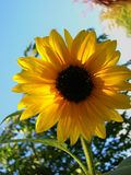 Orange, yellow sunflower, greenery and blue sky background. A orange, yellow sunflower in front of greenery and blue skies stock photography