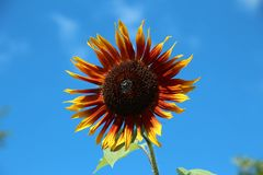 Bright orange and yellow sunflower Royalty Free Stock Photo
