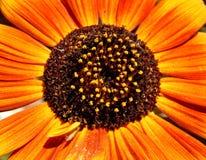 Orange And Yellow Sunflower Macro stock photos