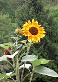 Orange, yellow sunflower, greenery background. A orange, yellow sunflower plant in front of greenery royalty free stock photo