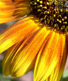Orange-yellow sunflower quarter. Orange and yellow tinted sunflower quarter Stock Photos