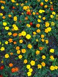 Orange and yellow tagetes. Orange tagetes flowers from above royalty free stock photo