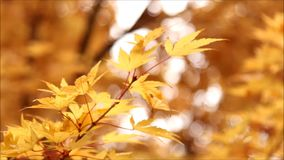 Orange and yellow tree leaves with a bokeh background. stock footage