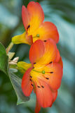 Orange and yellow tropical flower, close up Stock Photos
