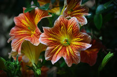 Orange and Yellow Tropical Flowers Stock Photography
