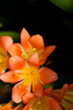 Orange and yellow tropical lilies Royalty Free Stock Image