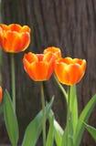 Orange and yellow tulip Royalty Free Stock Photos