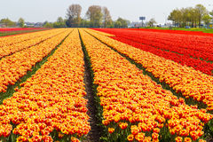 Orange and yellow tulip field close-up near village of Lisse, Holland Royalty Free Stock Photo