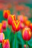 Orange and yellow tulip flower. Field Stock Photography