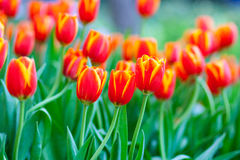 Orange and yellow tulip flower. Field Stock Photo