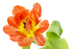 Orange and yellow tulip (tulipa) Royalty Free Stock Photos