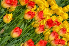 Orange and yellow tulips Royalty Free Stock Photos