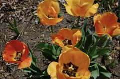 Orange and Yellow Tulips in Bloom stock images