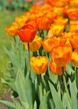 Orange and yellow  tulips in botanical garden Royalty Free Stock Photos